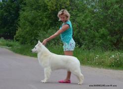 Длинношерстный щенок Белой Швейцарской Овчарки